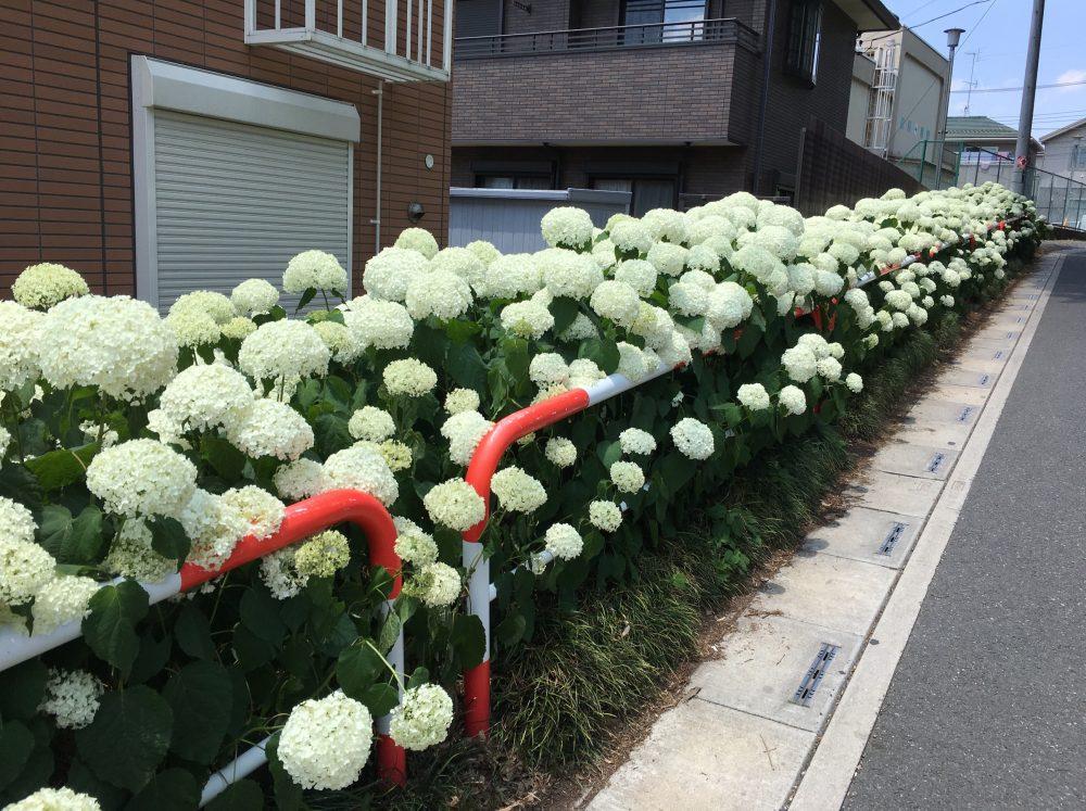 さいたま市西区「2017 指扇アジサイまつり」に行ってきた『埼玉県6月のイベント』